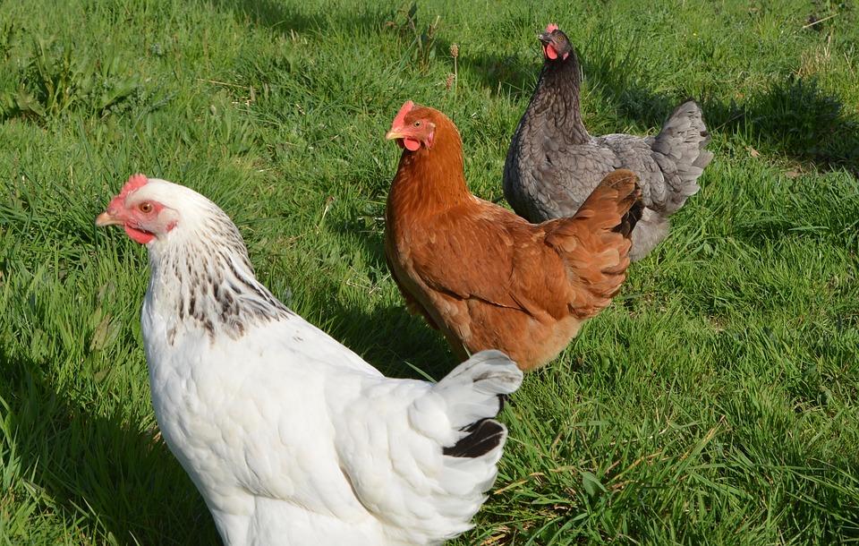 Avoir des poules dans son jardin bonne id e - Avoir des poules dans son jardin ...