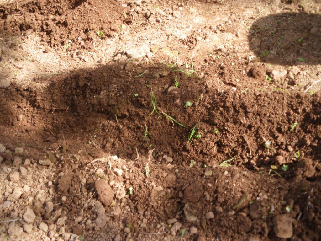 planter des iris sauvage