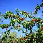 Comment avoir de beaux arbres fruitiers