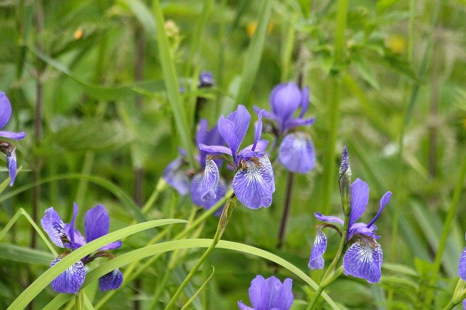 cueillir des iris sauvages