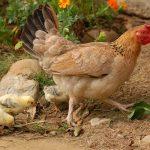 avoir des poules elevage des poules