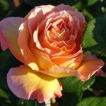 Bouturage des rosiers