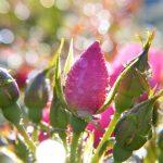 taches noires rosiers