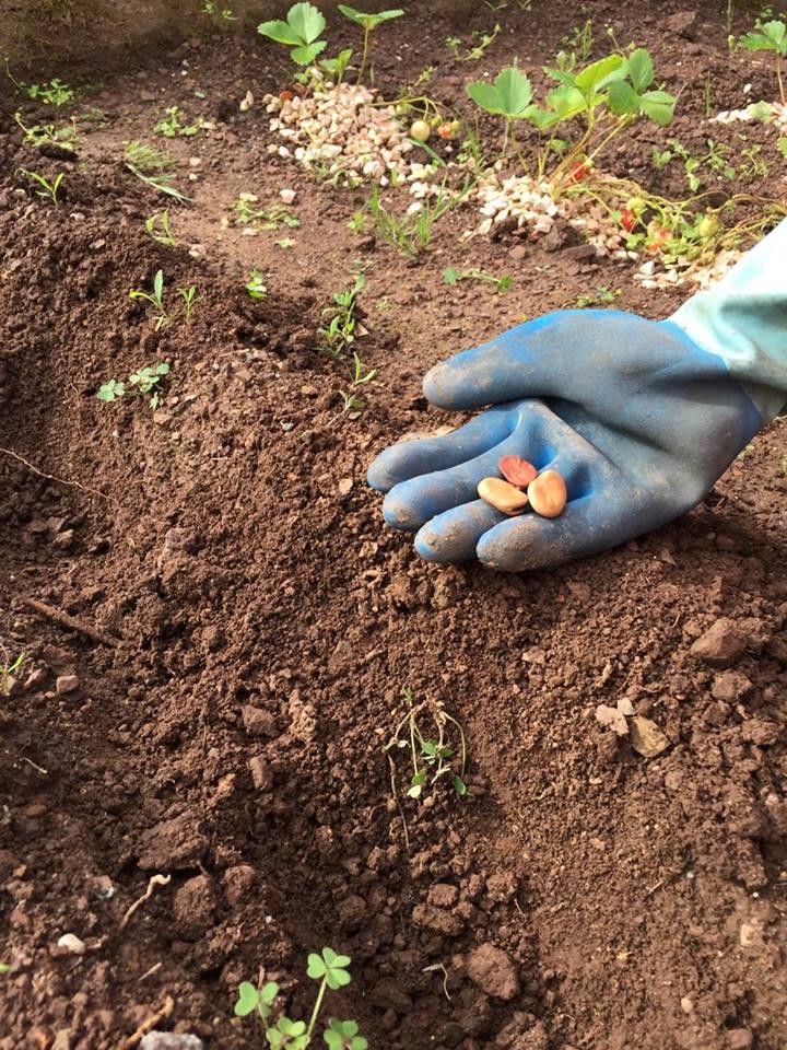 Planter des fèves