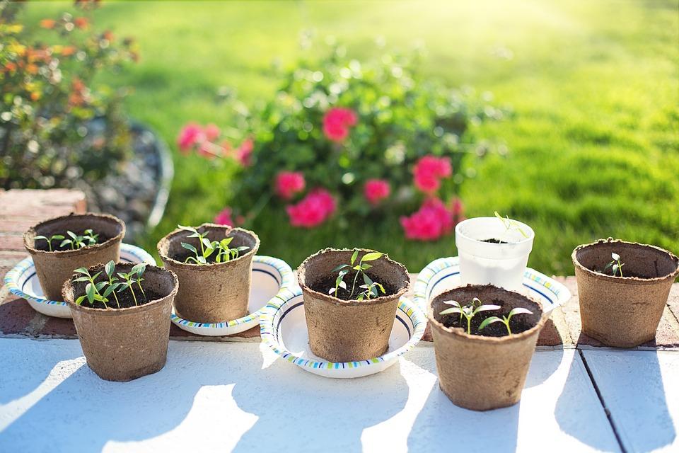 Repiquage des plantes