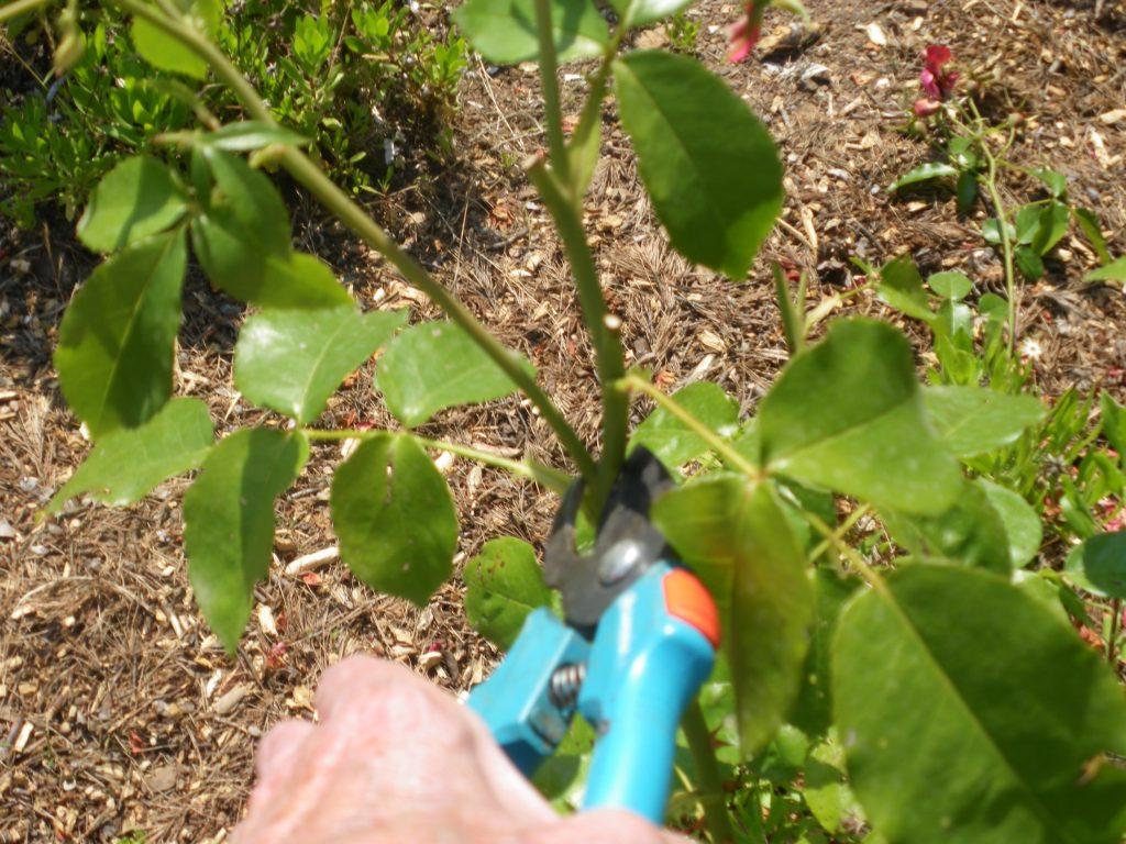 Entretien des rosiers - Quand couper les rosiers ...