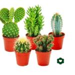 5 mini cactus