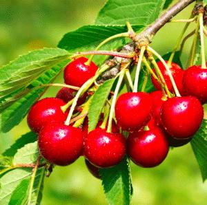 cerisier autofertile