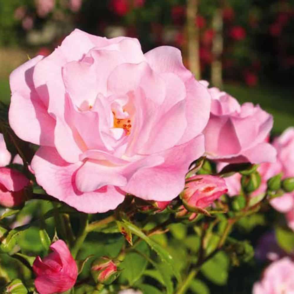 rosier mareva