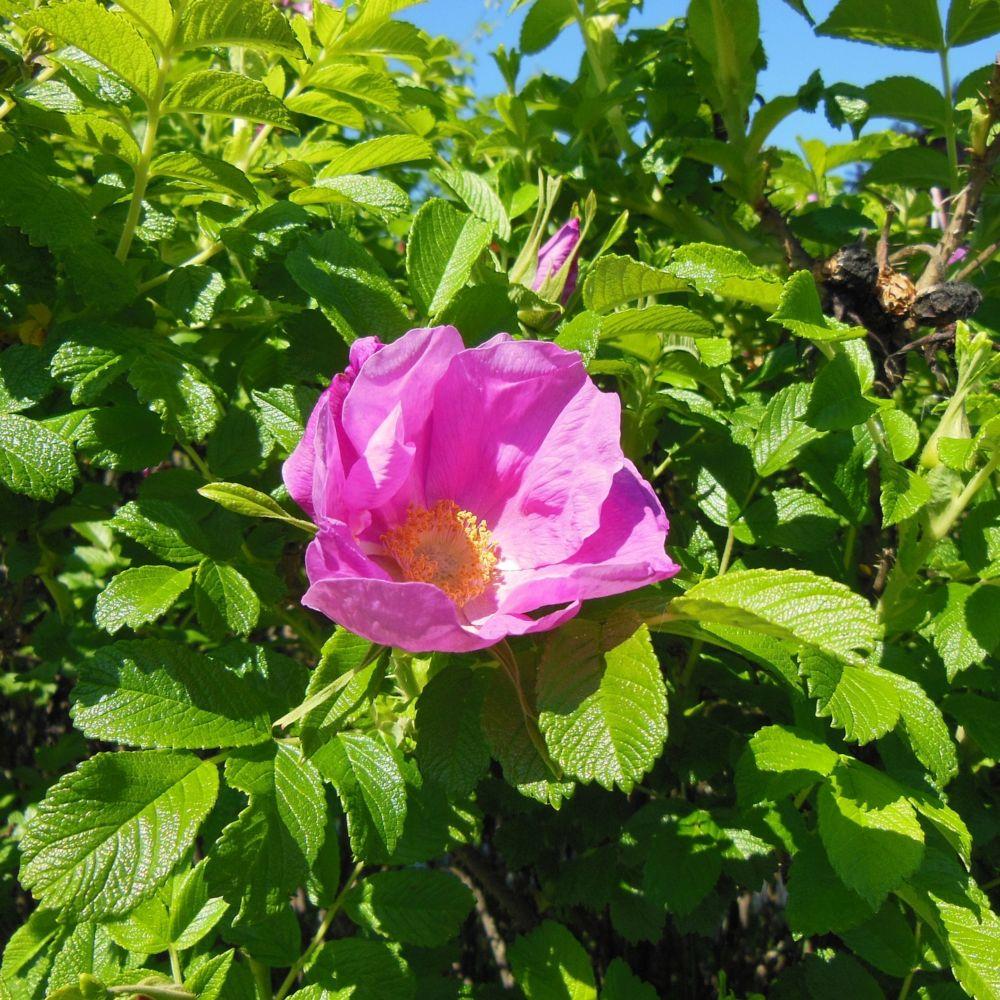 rosier du japon