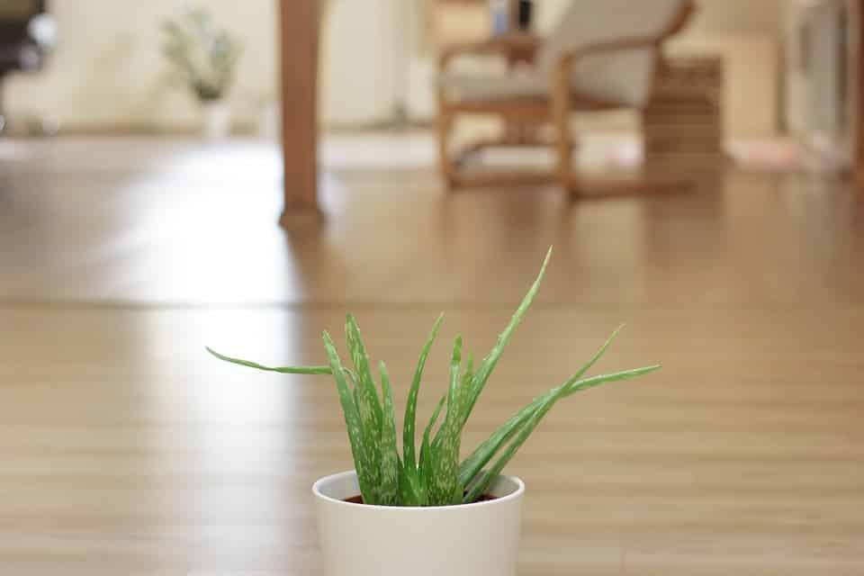 aloe vera plante intérieur