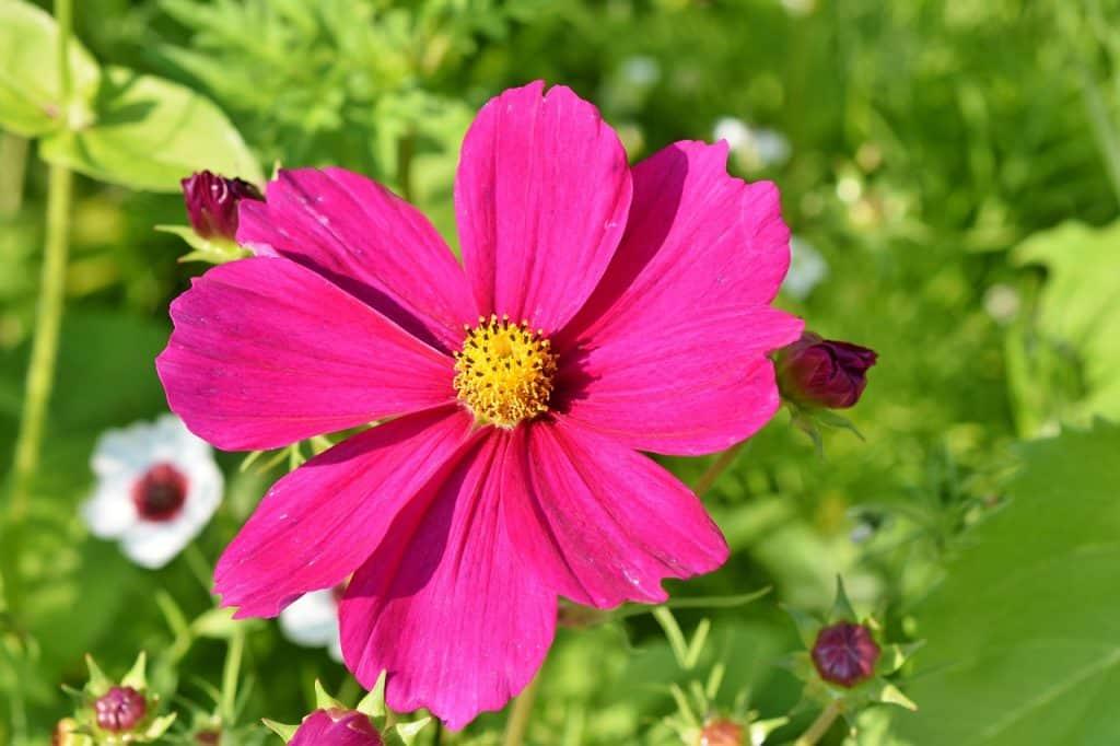 cosmos fleurs
