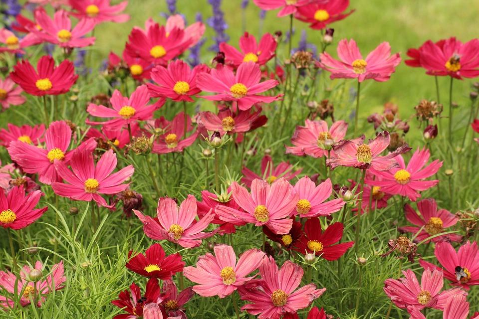 les cosmos fleurs fleurir son jardin pour quatre sous. Black Bedroom Furniture Sets. Home Design Ideas