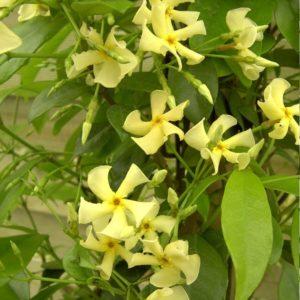 jasmin jaune