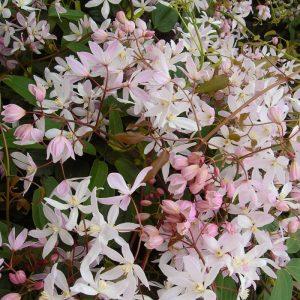 clematite-armandii-apple-blossom