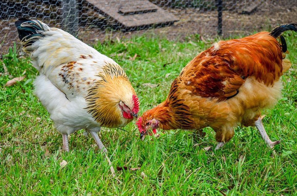 Mes poules mangent leurs œufs