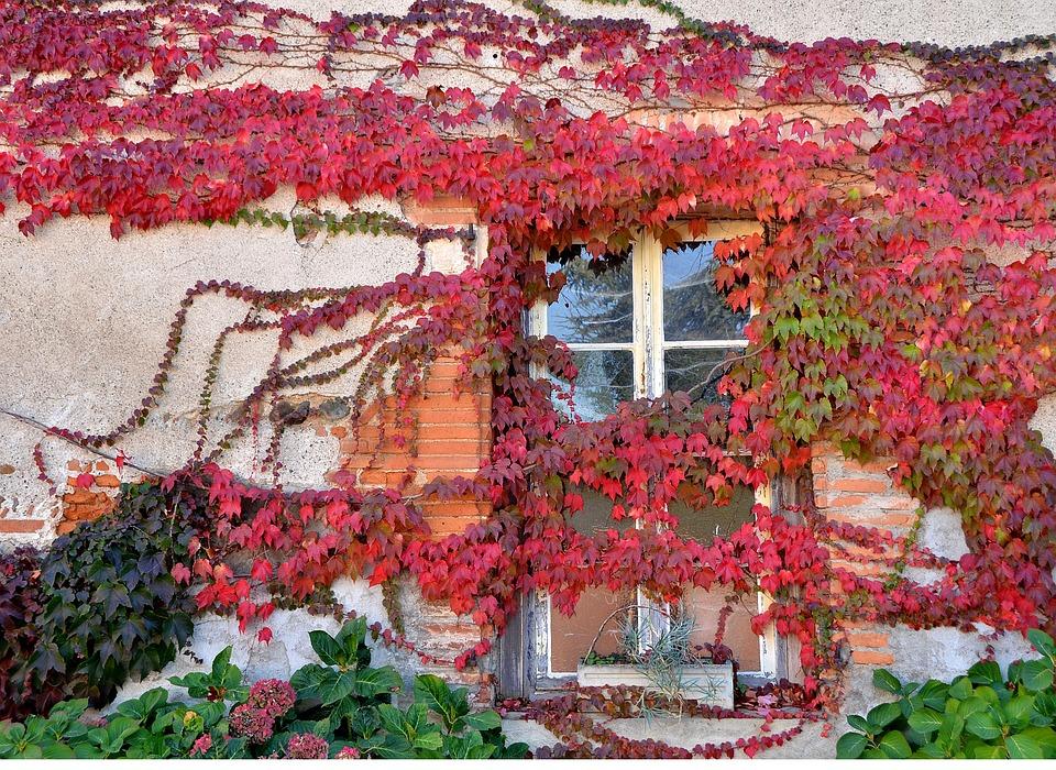 vigne vierge rouge façade maison