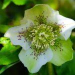 Roses de Noël ou Hellébore