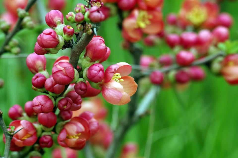 fleurs du cognassier