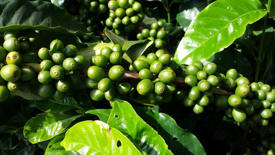 café vert minceur