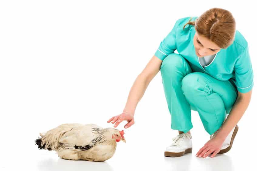 Maladie des Poules