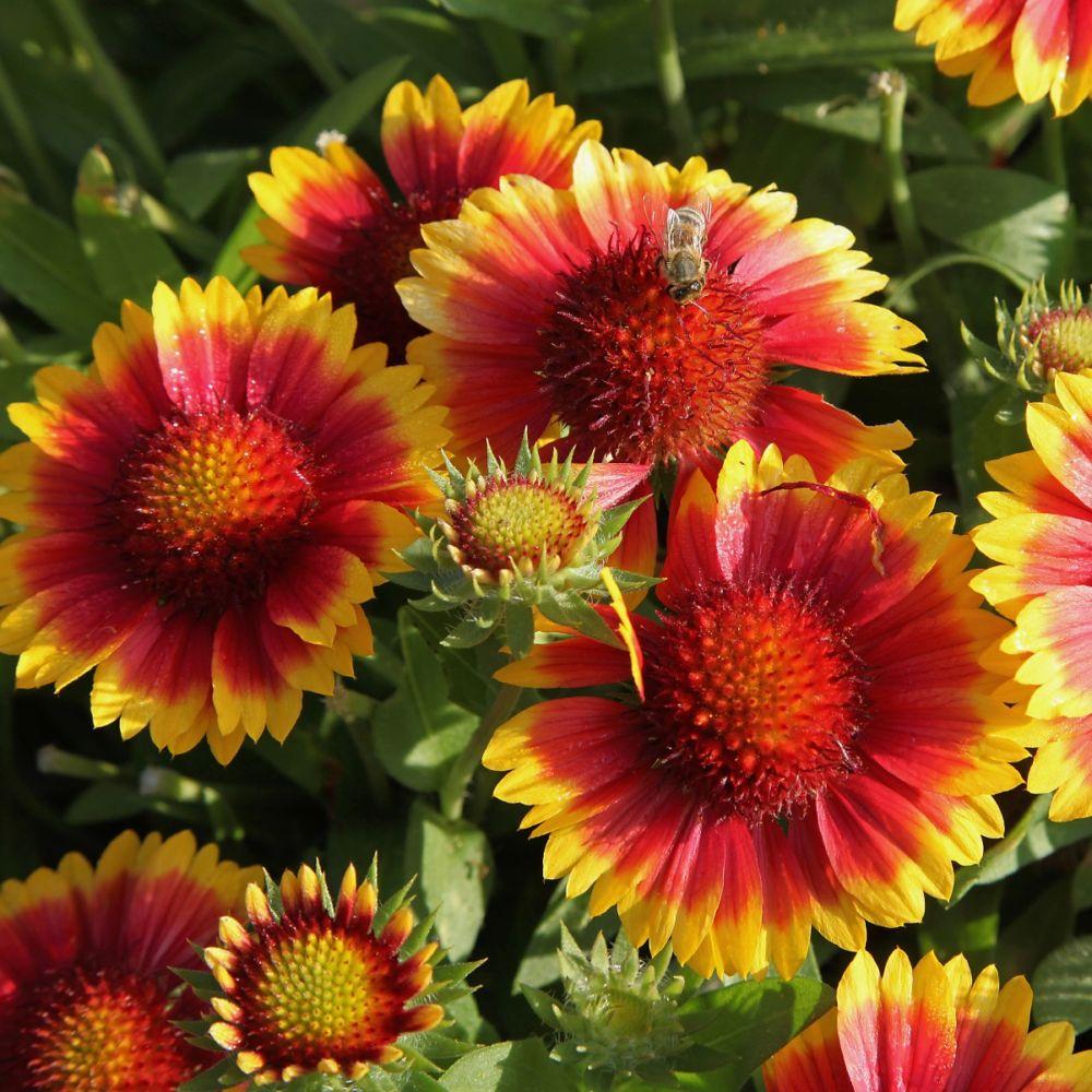 plantes vivaces massif gaillardia royale