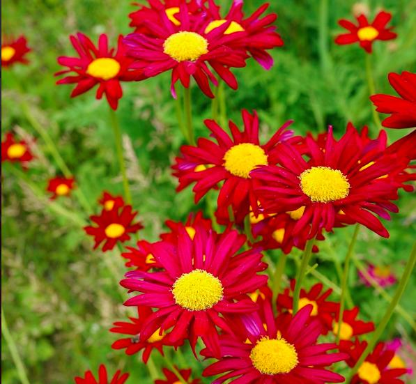 Fleur Pyrèthre rouge robinson's red