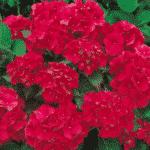 hortensia parterre de fleurs vivaces