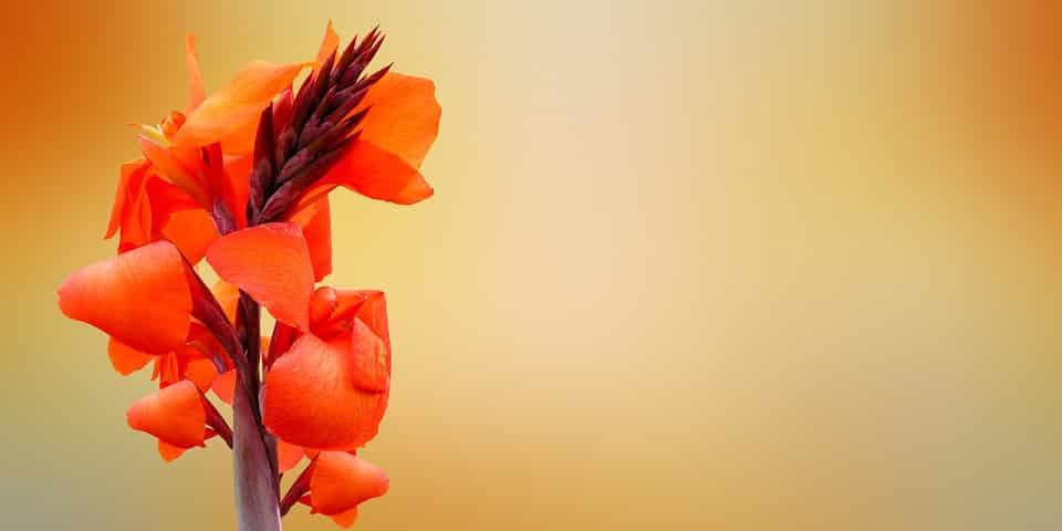 fleur canna massif