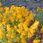 giroflée plantes vivaces
