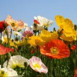 pavot d'islande parterre de fleurs
