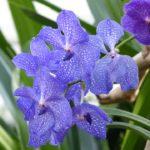 L'orchidée Vanda bleue - Entretien