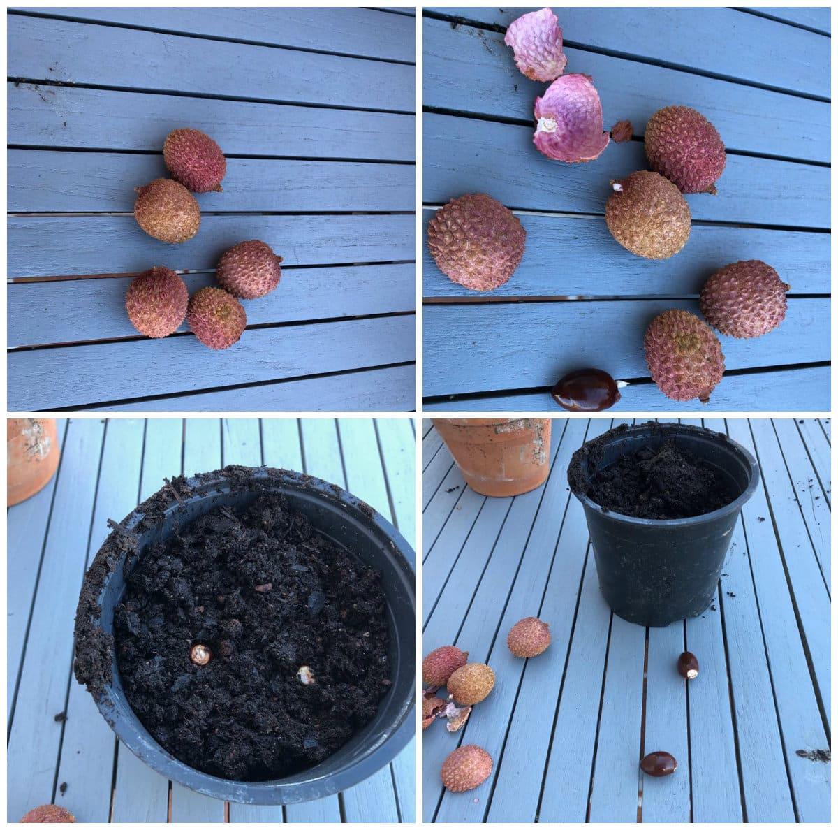 Plantation des noyaux de litchi