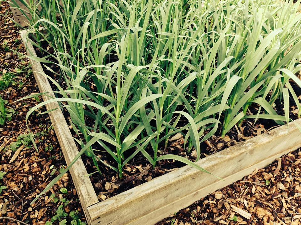 Planter de l'ail en février