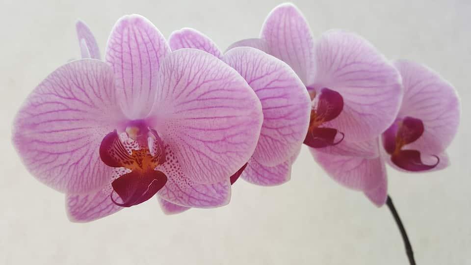 Soin des orchidées pour obtenir une floraison