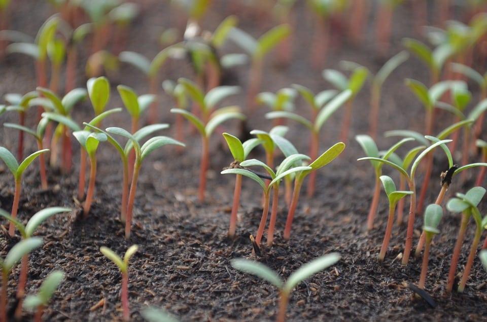 février semis de tomates