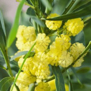 Mimosa des 4 saisons 'Lisette'