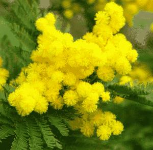 Mimosa 'Le Gaulois' greffé