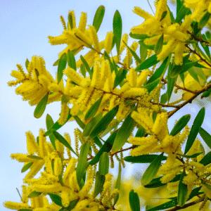 Mimosa chenille - Acacia longifolia
