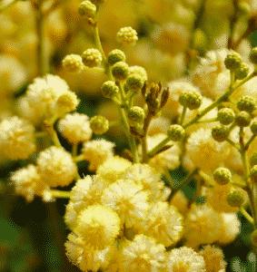 Mimosa à bois noir - Acacia melanoxylon