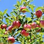 planter des arbres fruitiers