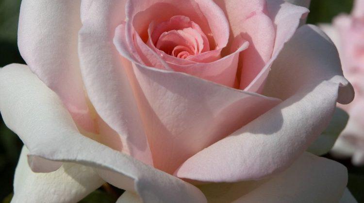 Rose Meilland