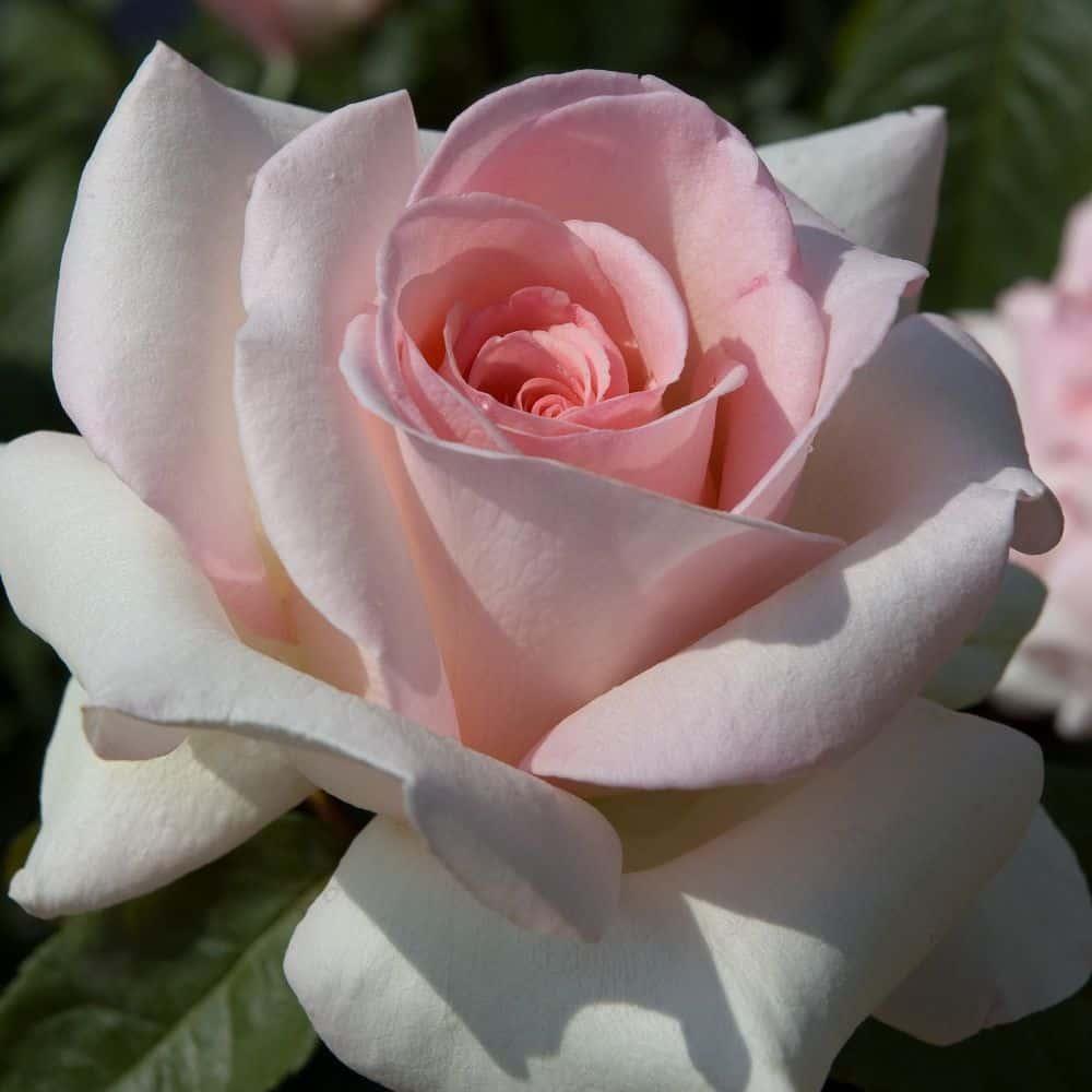 Faire Un Rosier Avec Une Rose roses coups de cœur de mamie mado roses meilland beauté