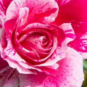 rosier grimpant ines sastre