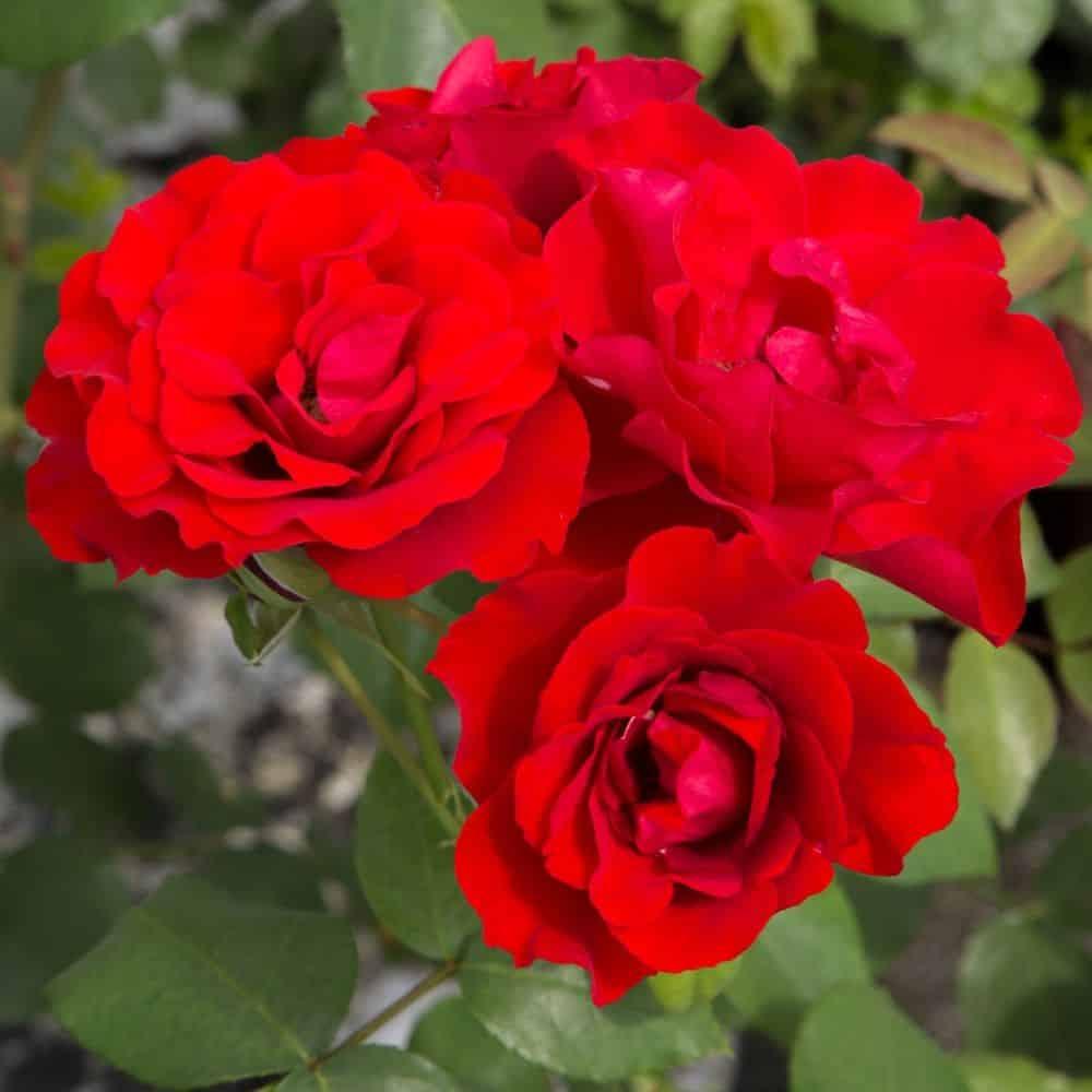 rose matthias rouge