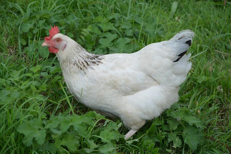 La poule Sussex