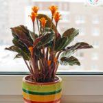 calathea crocata plante intérieur