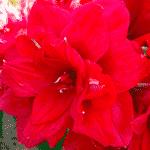 Amaryllis plante décoration intérieure