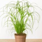 papyrus plante d'intérieur