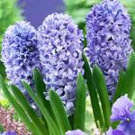 Déco plante intérieur jacinthe